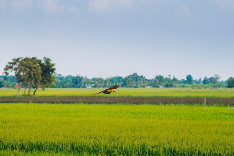 Färgrikt av flyget för arapapegojaövning royaltyfri foto