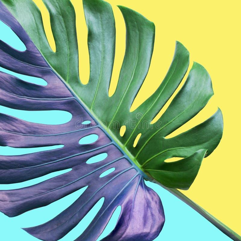 Färgrikt av tropiska monsterasidor på pastellfärgad bakgrund Natur arkivbild