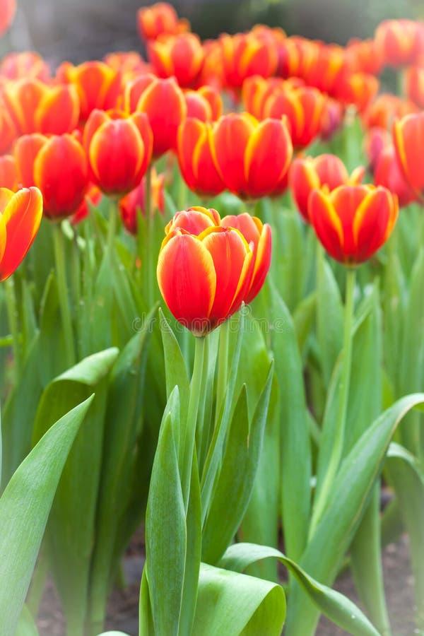 Färgrikt av tulpanblommafält royaltyfri fotografi