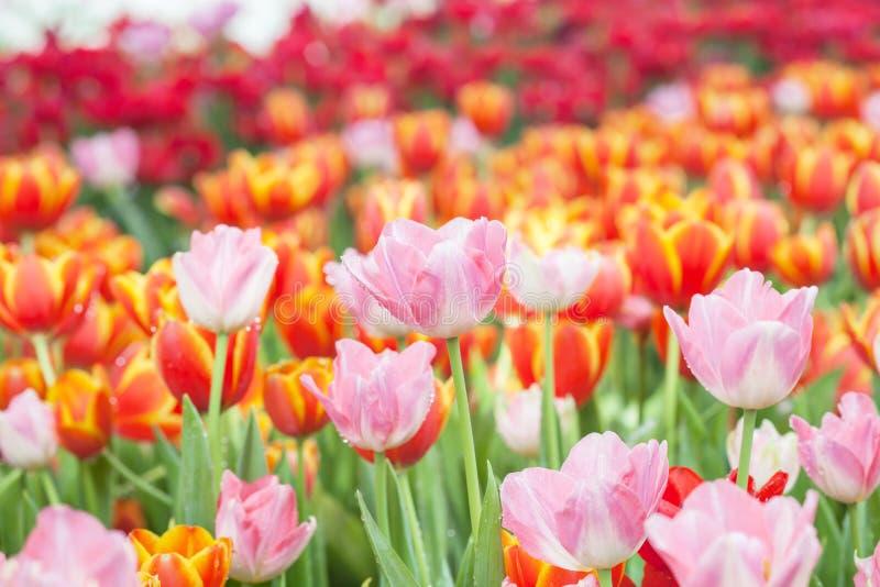 Färgrikt av tulpanblommafält fotografering för bildbyråer