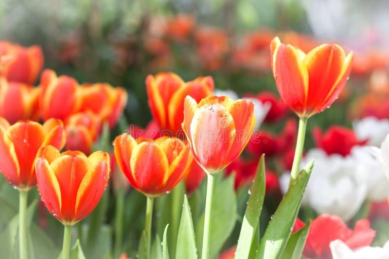 Färgrikt av tulpanblommafält royaltyfri foto