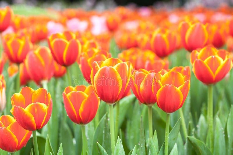 Färgrikt av tulpanblommafält royaltyfri bild