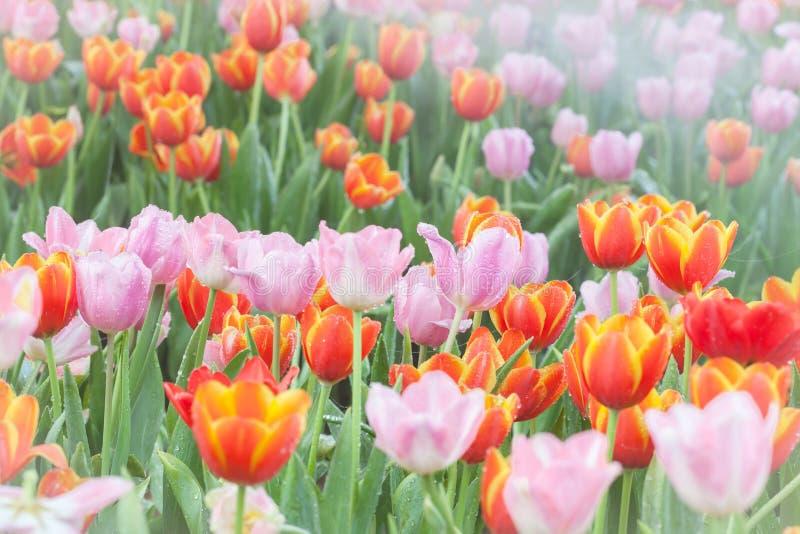Färgrikt av tulpanblommafält arkivfoto