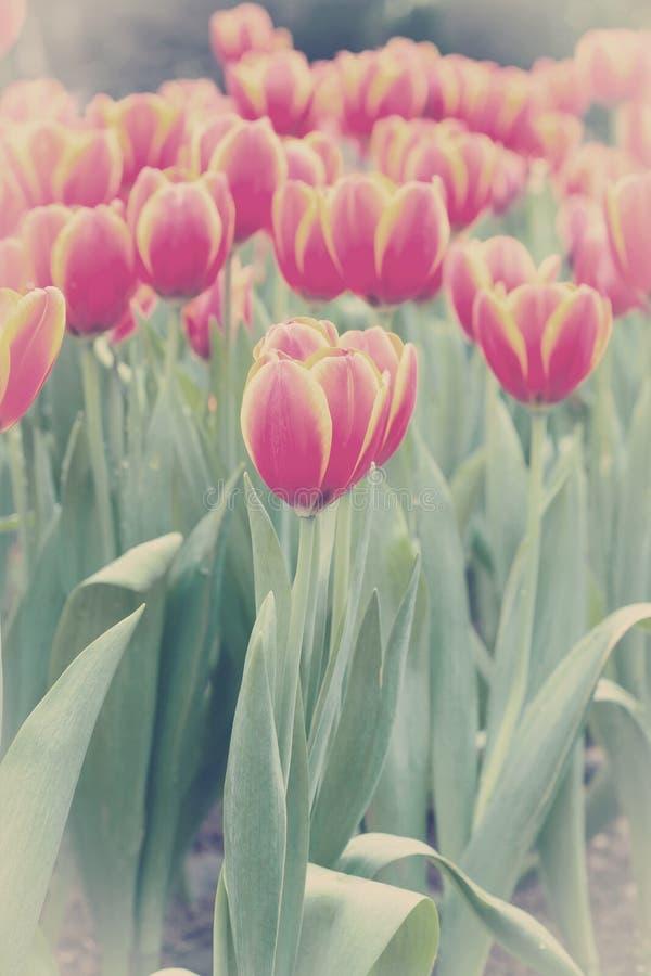 Färgrikt av tulpanblommafält royaltyfria foton