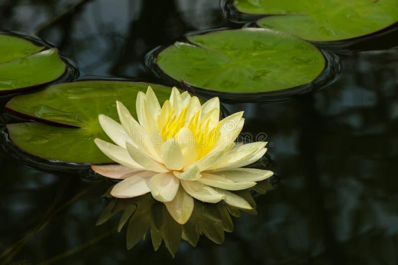 Färgrikt gult vatten lilly fotografering för bildbyråer