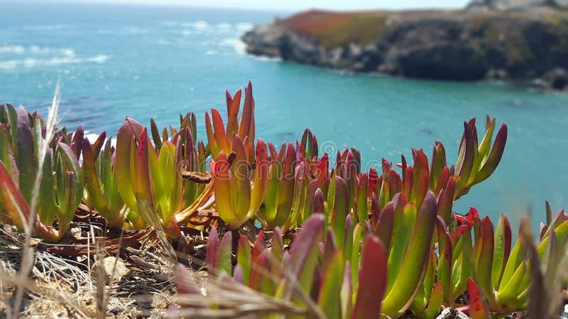 Färgrikt iceplant som sätta sig på en havklippa royaltyfria foton
