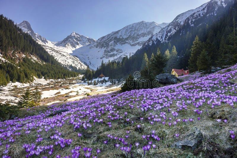 Färgrikt krokusblomma- och vårlandskap i de Carpathian bergen, Transylvania, Rumänien arkivbild