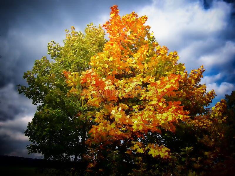 Färgrikt lönnträd bredvid en äng på hösten/nedgångdagsljus arkivfoto