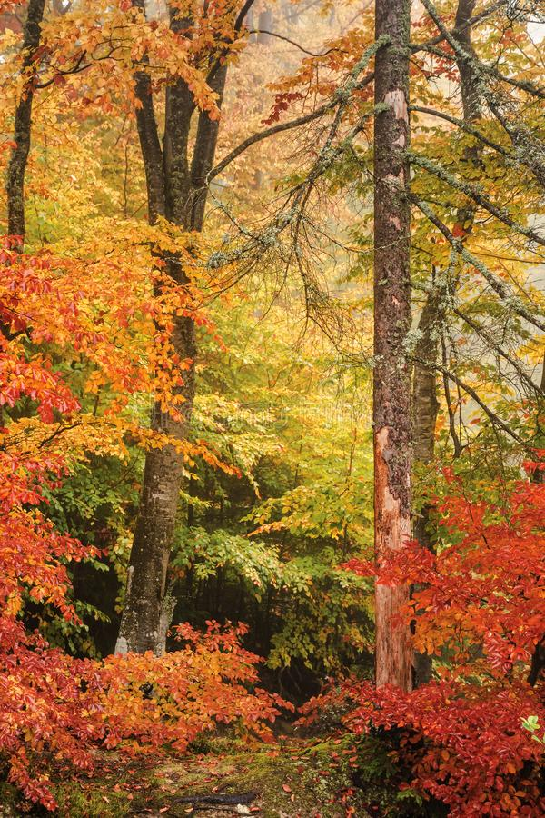 Färgrikt landskap av en bokträdskog i höst arkivbilder