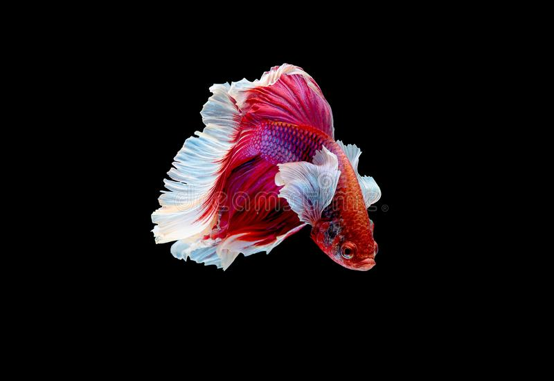 Färgrikt med huvudsaklig färg av den röda och rosa bettafisken, isolerades den Siamese slåss fisken på svart bakgrund För fisk ha arkivbilder