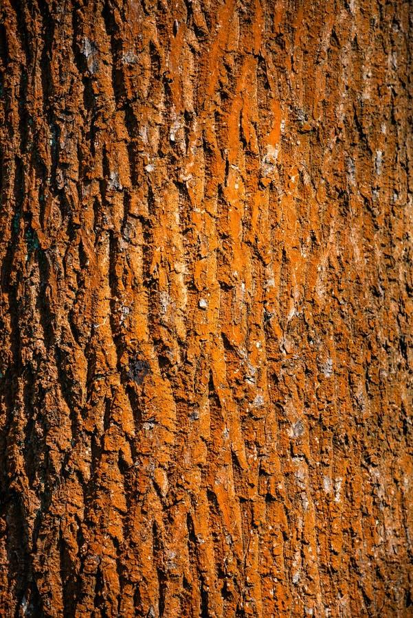 Färgrikt rött i för skogträd för lav det gamla skället för stam, Tyskland royaltyfria foton