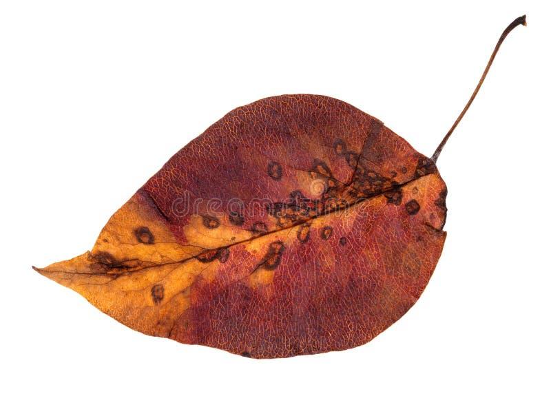 färgrikt ruttet isolerat höstblad av äppleträdet arkivbild