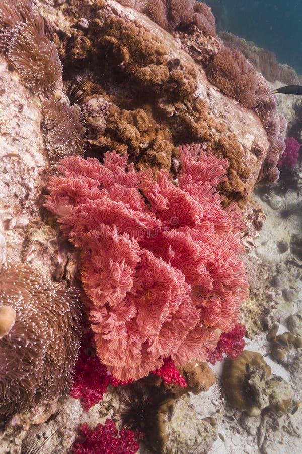 Färgrikt seafan på den Lipe ön royaltyfri bild