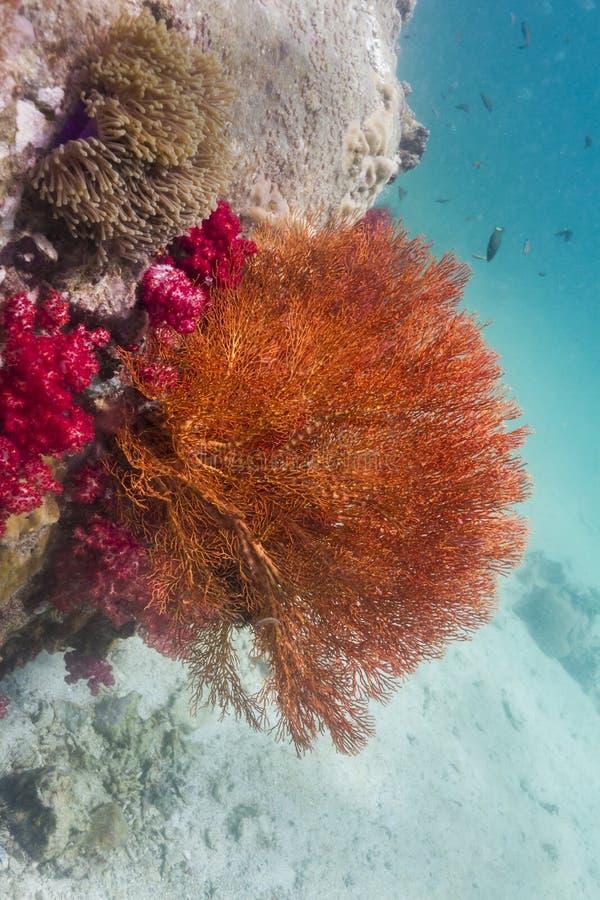 Färgrikt seafan på den Lipe ön royaltyfria bilder