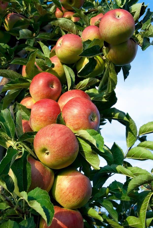 Röda äpplen för raddor på en förgrena sig royaltyfri bild