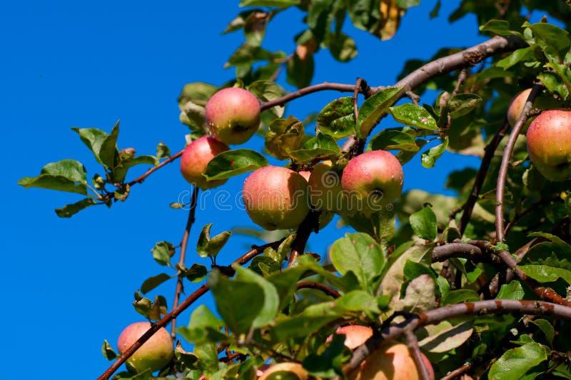 Färgrikt skott som innehåller en grupp av röda äpplen royaltyfri bild