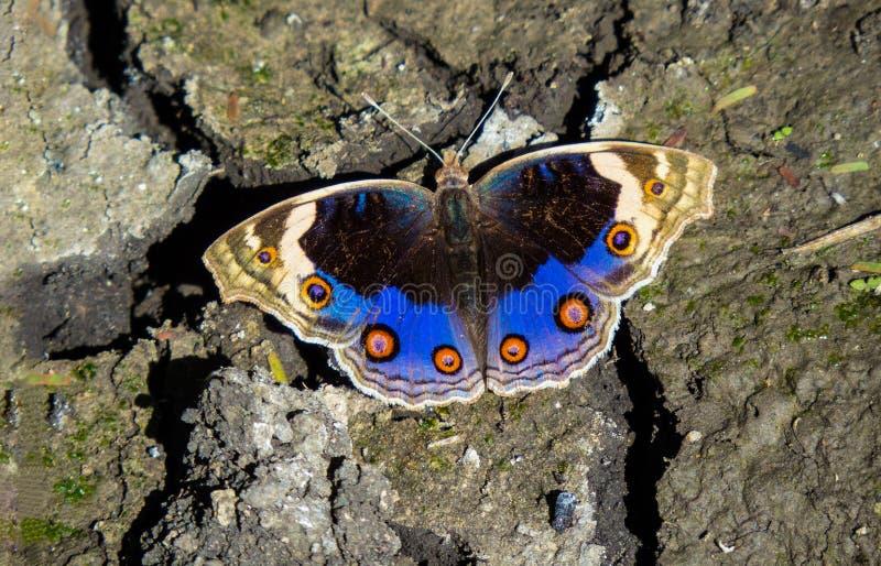 Färgrikt slicka för fjäril saltar och mineraler från sprucken yttersida royaltyfri fotografi