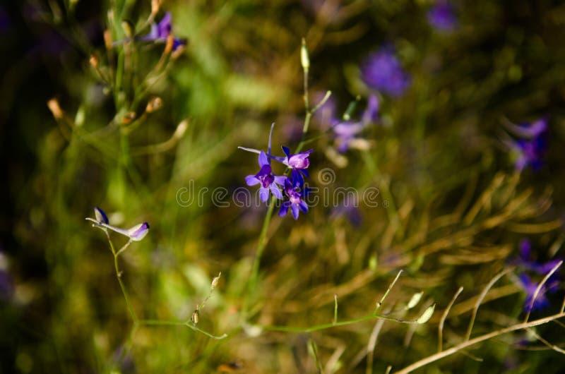 Färgrikt soligt väderfotografi av vildblommor i sommarfält Härliga violetta blåklockor står ut i ljust - grönt nytt arkivbild