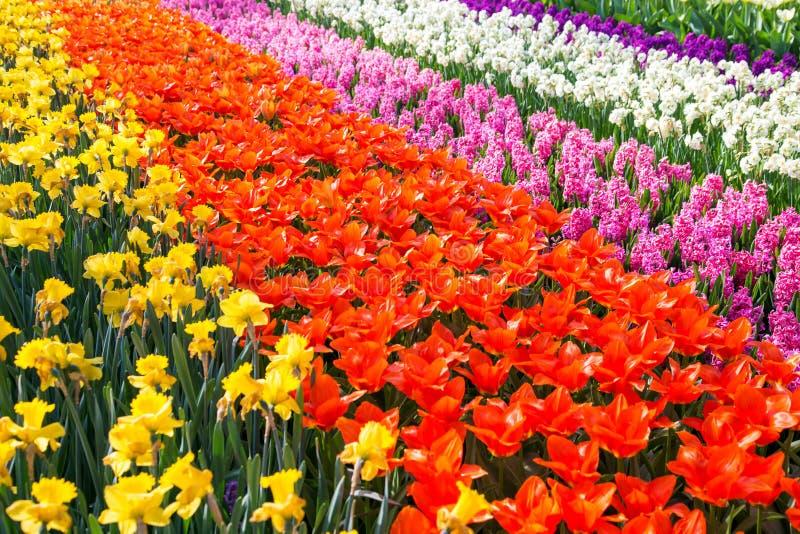 Färgrikt tulpanblommafält Mångfärgade ljusa tulpanblommor fotografering för bildbyråer