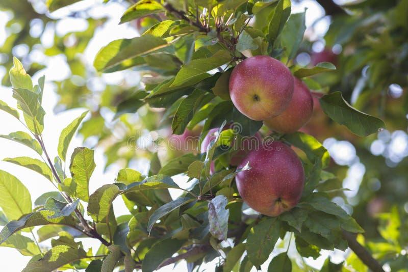 Färgrikt utomhus- skott som innehåller en grupp av röda äpplen på en kli royaltyfria bilder