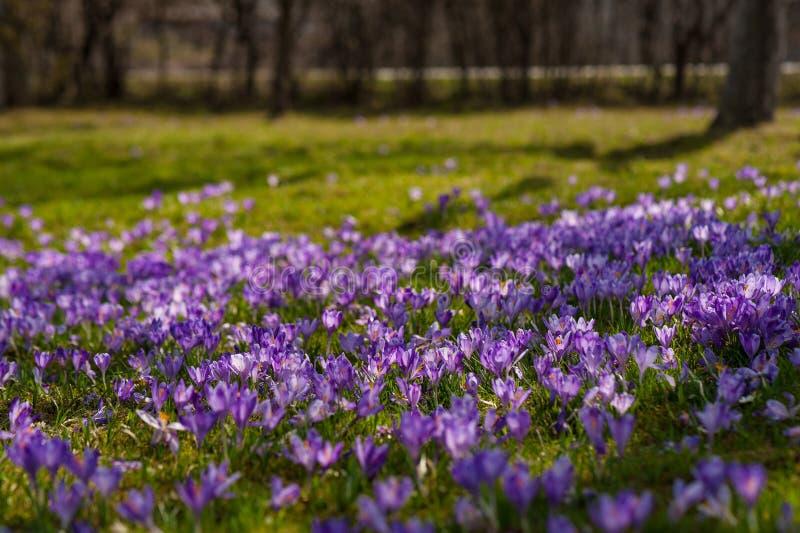Färgrikt vårlandskap i Carpathian by med fält av blommande krokusar arkivfoton