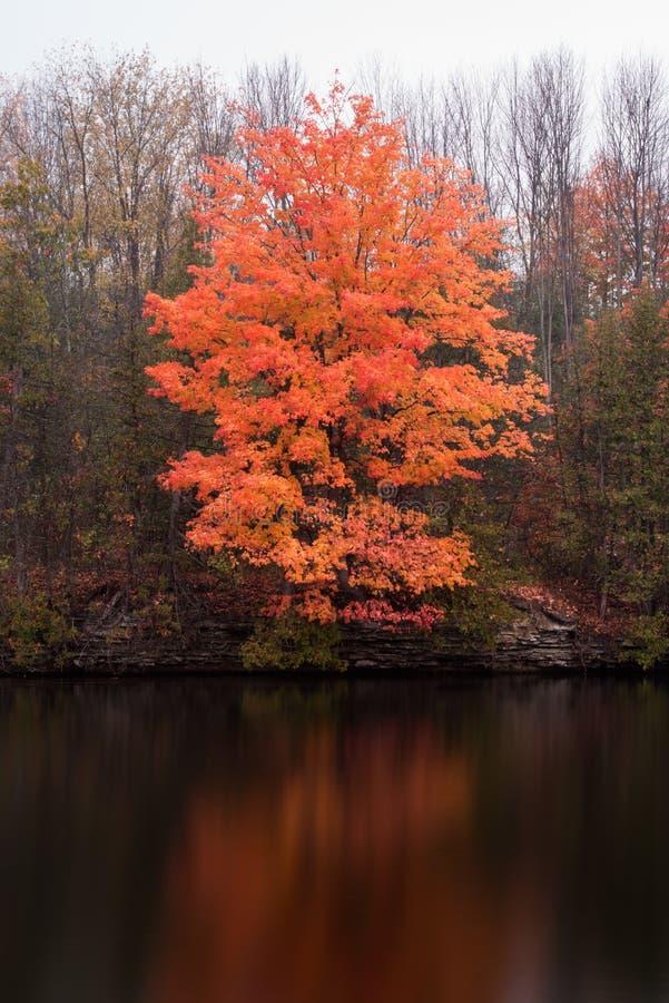 Färgstänk av orange färg på ett lönnträd i höst royaltyfri fotografi