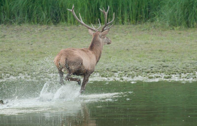 Färgstänk för röda hjortar arkivfoton