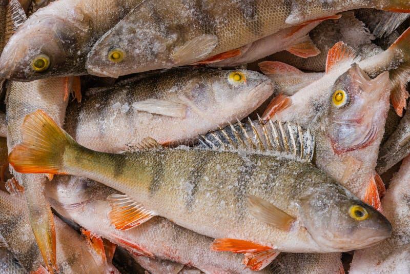 Färsk fryst fisk Perch Många fiskar ligger i en hög arkivfoto