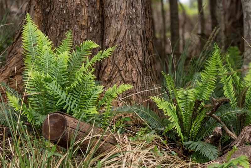 Färska räkor vid basen av träd på Sarah Island Tasmania Australien royaltyfri bild