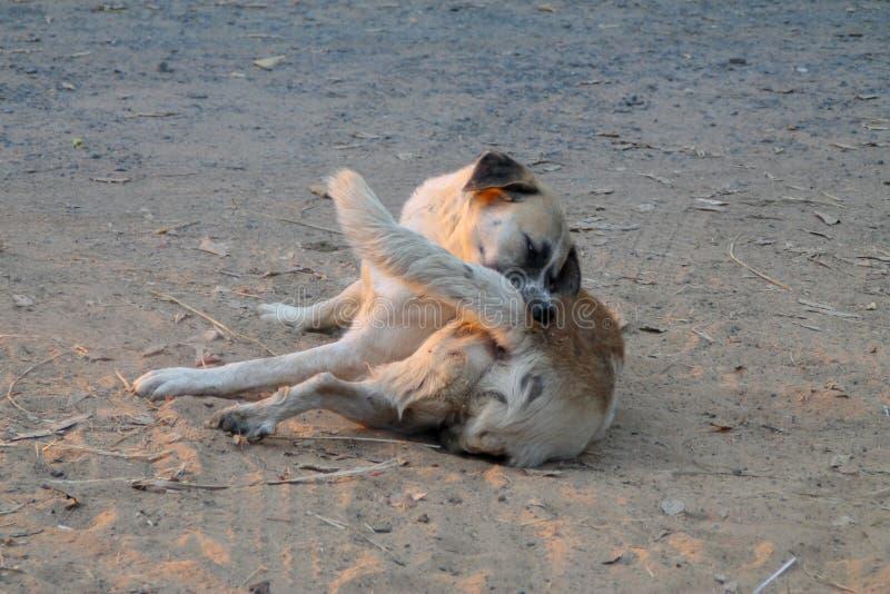 Fästing och loppa för hemlös hundsjälv rengörande royaltyfri fotografi