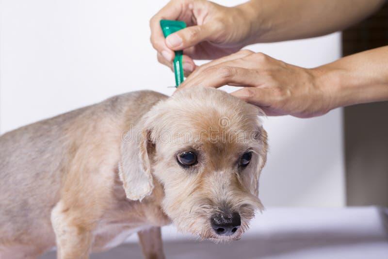 Fästing- och loppaförhindrande för en hund royaltyfri foto