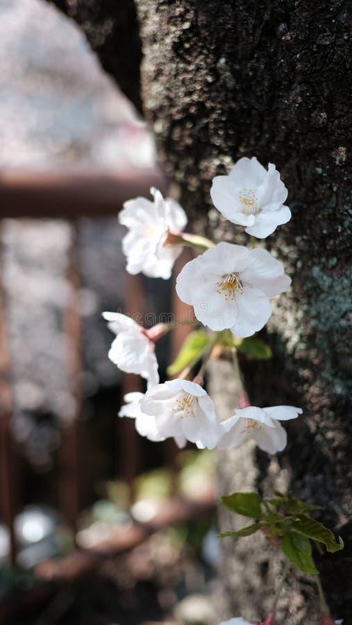 Få av Cherry Blossom den närliggande floden arkivbild