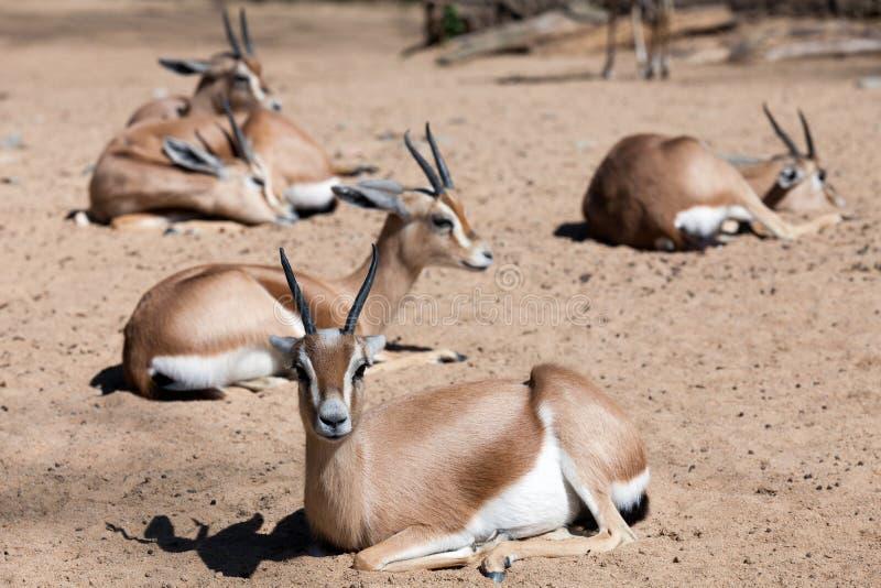 Få Saharian Dorcas Gazelles royaltyfria bilder