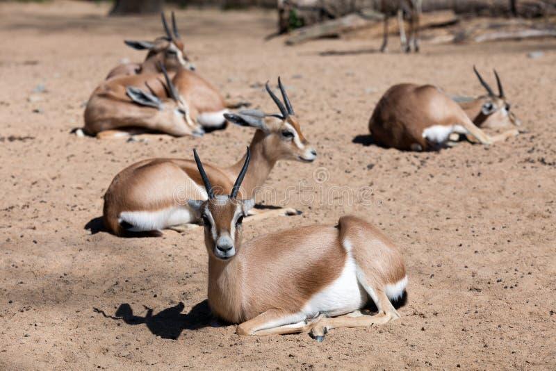 Få Saharian Dorcas Gazelles på sand arkivbilder