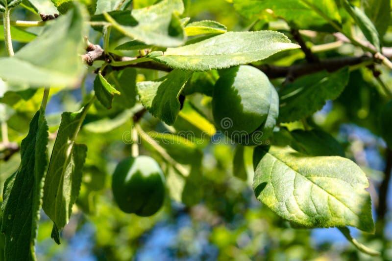 Få små grönskande gröna plommoner som växer i trädgården arkivbild