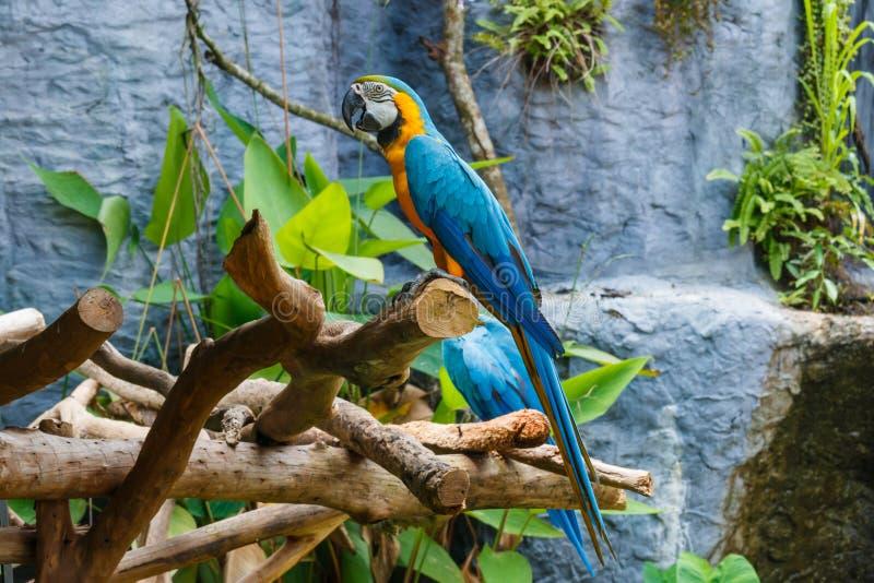 Fågel arapapegoja, ara, papegoja royaltyfria foton
