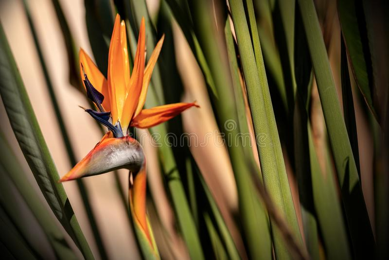 Fågel av den Paradise blomman - Strelitzia Reginae arkivfoton