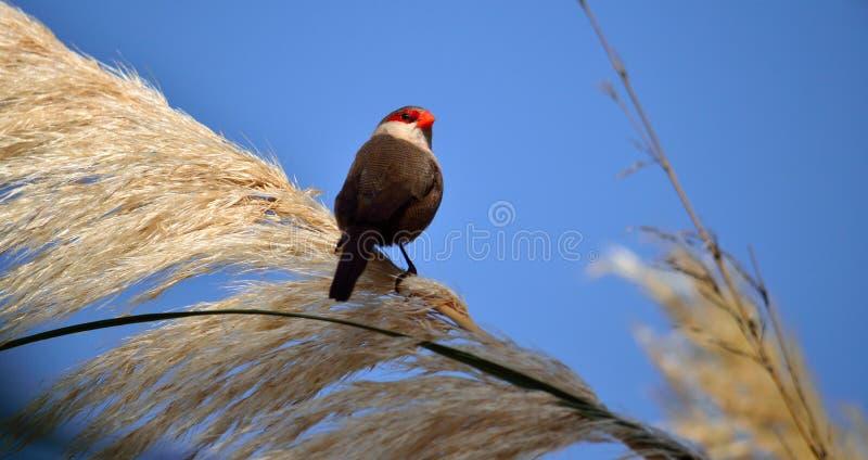 Fågel av den röda näbb på blommor royaltyfria foton