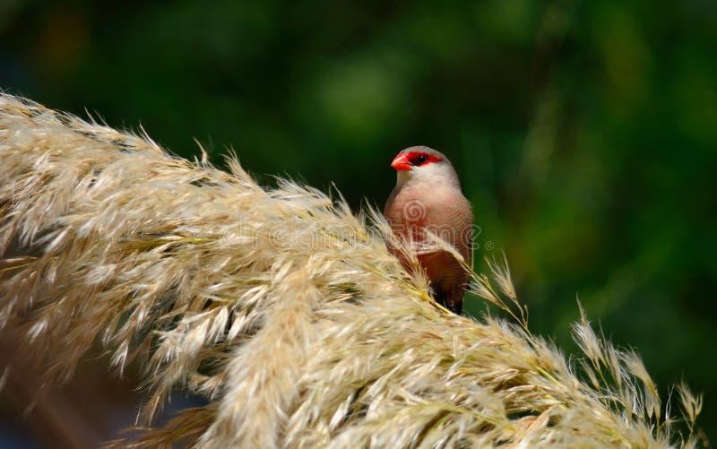 Fågel av den röda näbb på blommor arkivfoto