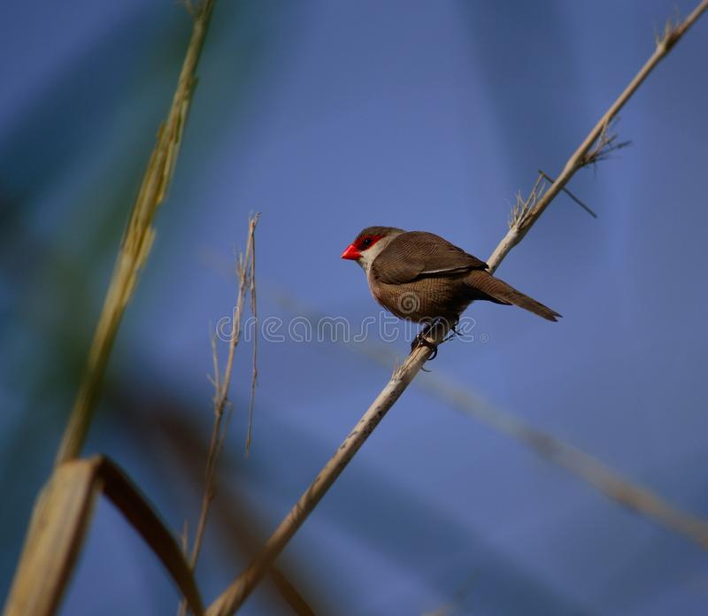 Fågel av den röda näbb på vassen arkivfoto