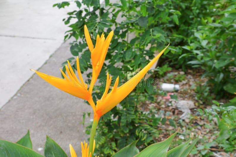 Fågel av härlig gul blommaStrelitzia Reginae för paradis royaltyfri foto