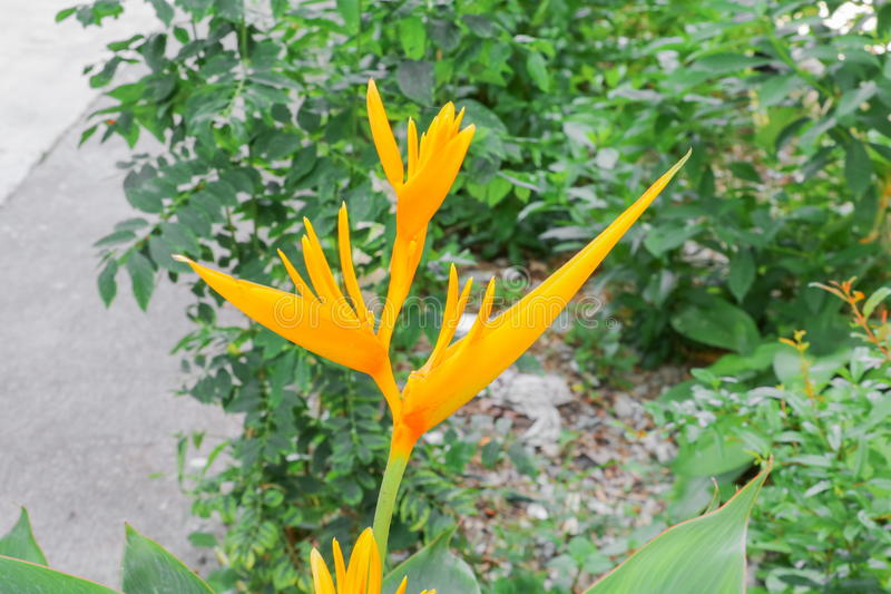 Fågel av härlig gul blommaStrelitzia Reginae för paradis fotografering för bildbyråer