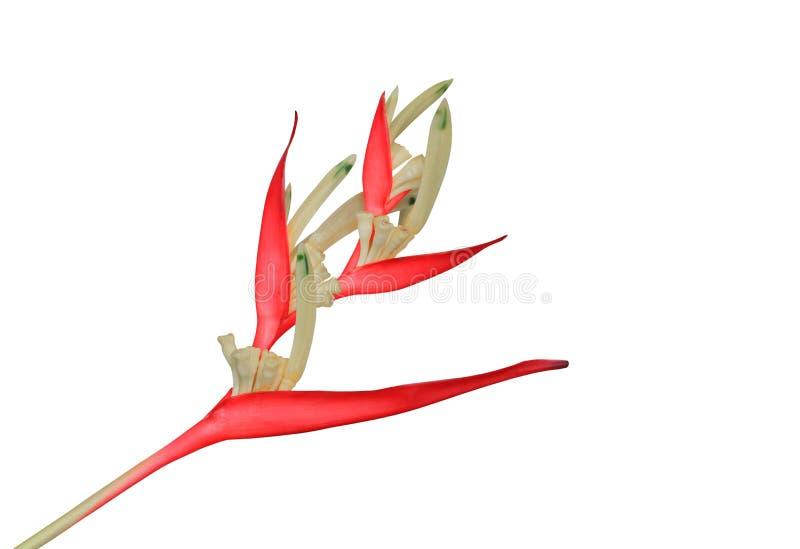 Fågel av härlig röd blommaStrelitzia Reginae som för paradis isoleras på vit bakgrund och den snabba banan arkivfoto