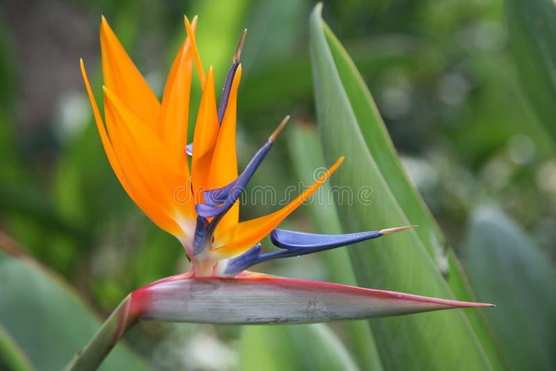 Fågel-av-paradis blomma på grön bakgrund, vändkretsblomma, Strelitziareginae arkivfoto