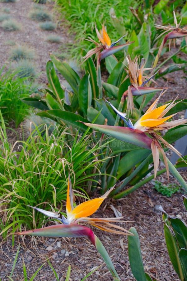 Fågel-av-paradis trädgård royaltyfria bilder