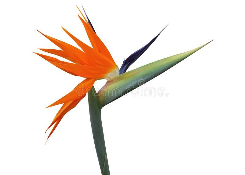 Fågel av paradisblomman fotografering för bildbyråer
