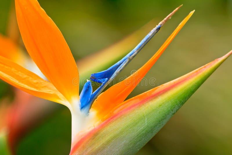 Fågel av paradisblomman royaltyfri fotografi