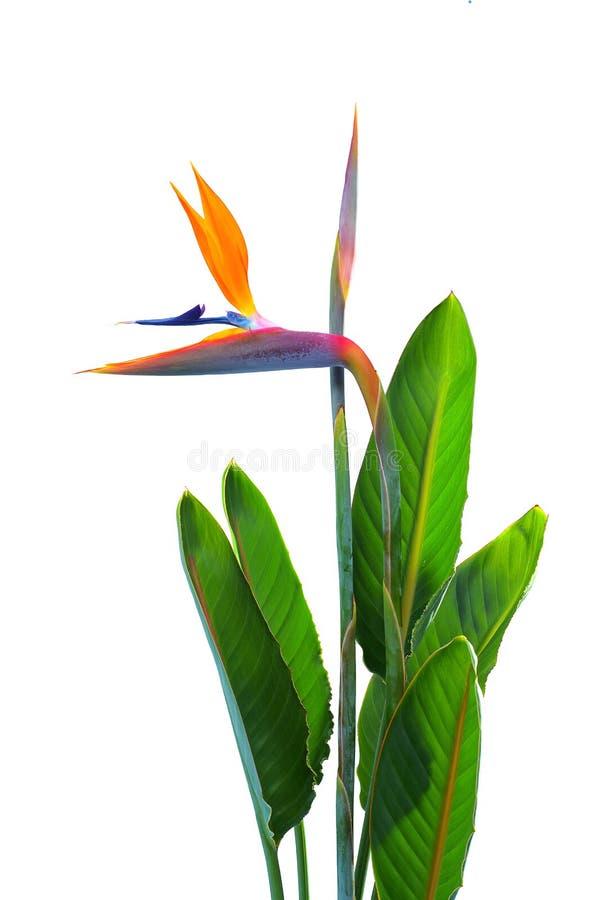 Fågel av paradisblommor och sidor arkivbilder