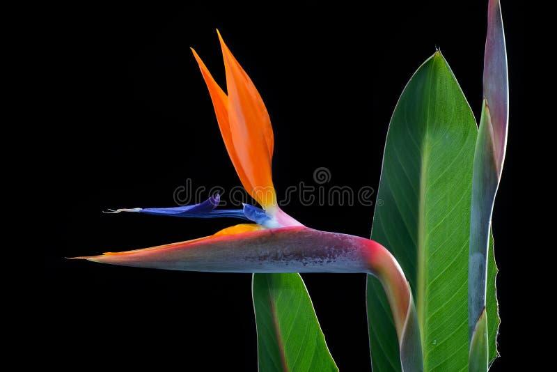 Fågel av paradisblommor och sidor royaltyfria foton