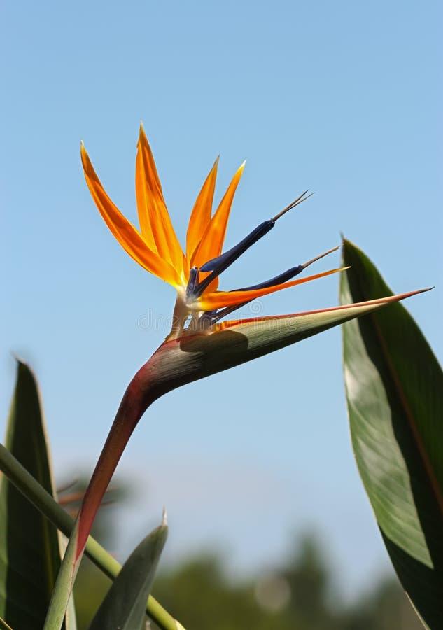 Fågel av paradiset royaltyfria bilder